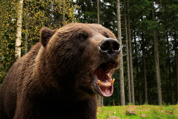 Bear Fury stock photo