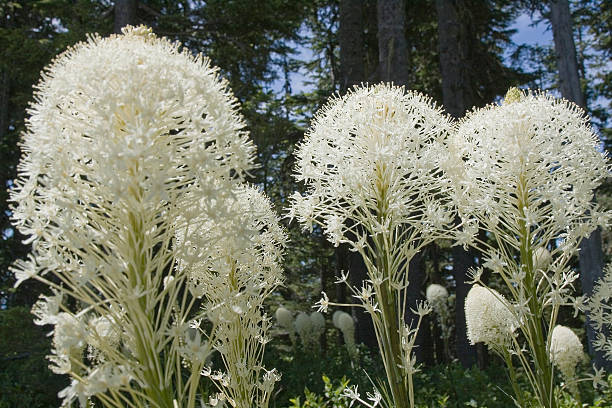 Bear Grass Bear Grass in full bloom. corn lilly stock pictures, royalty-free photos & images