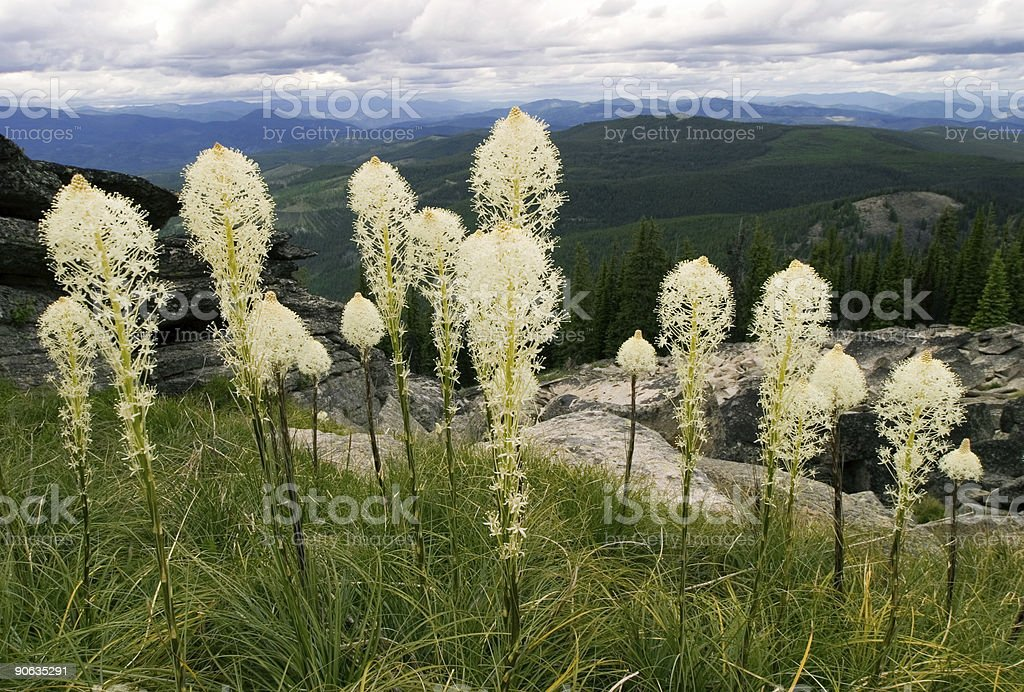 Bear Grass royalty-free stock photo