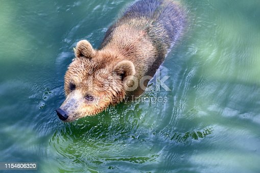 Bear, Grizzly Bear in Water, The Bear is a Fierce Animal, The Bear is Wildlife