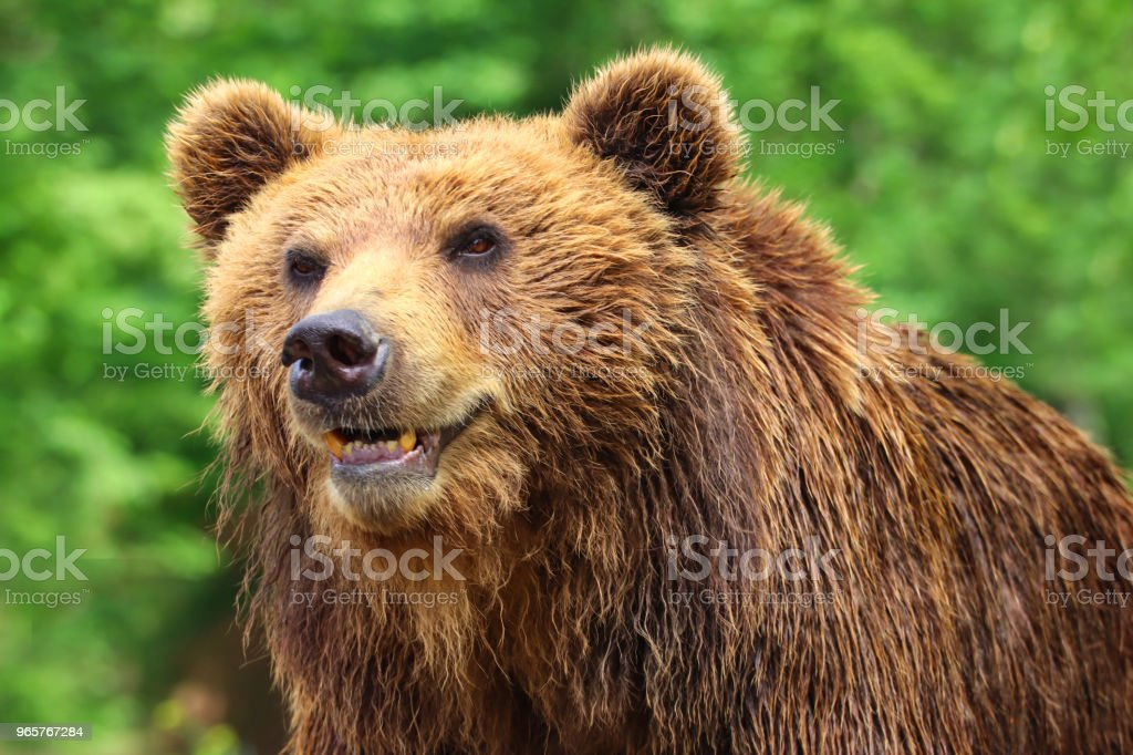 Bear grizzly in nature with green background - Royalty-free Animal Stock Photo
