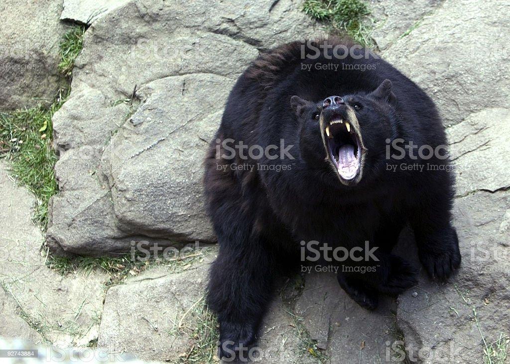 Bär, Knurren Lizenzfreies stock-foto