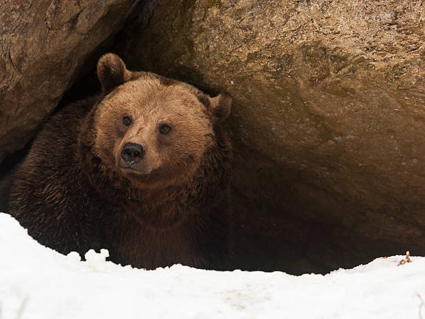 Bear have a look out of  his cave​​​ foto