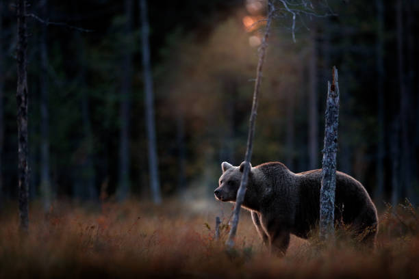 Bear hidden in yellow forest, cold sunset in taiga. Autumn trees with bear, dark forest. Beautiful animal walking around lake, fall colours, vapour from muzzle nose. stock photo