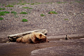 Grizzly brown bear covers his eyes while lying down in wet sand in natural habitat, Hallo Bay, Katmai, Alaska, USA