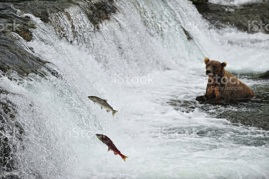 Bear hunting for salmon at Brooks Falls, Alaska stock photo