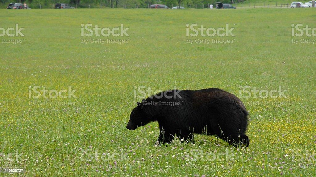 Bear in a field stock photo