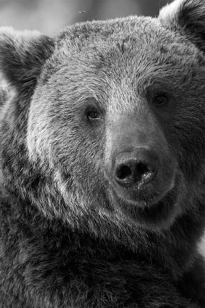 Bear in Black and White stock photo
