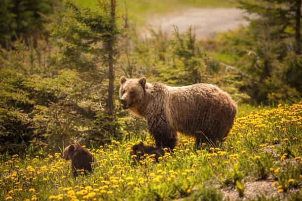 Bär im Jasper Nationalpark in Kanada – Foto