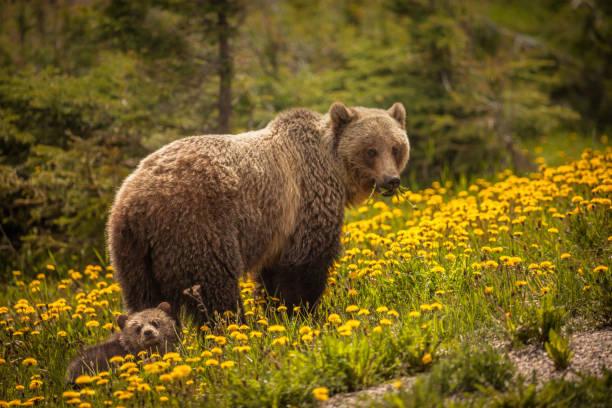 Bear in Jasper National Park in Canada stock photo