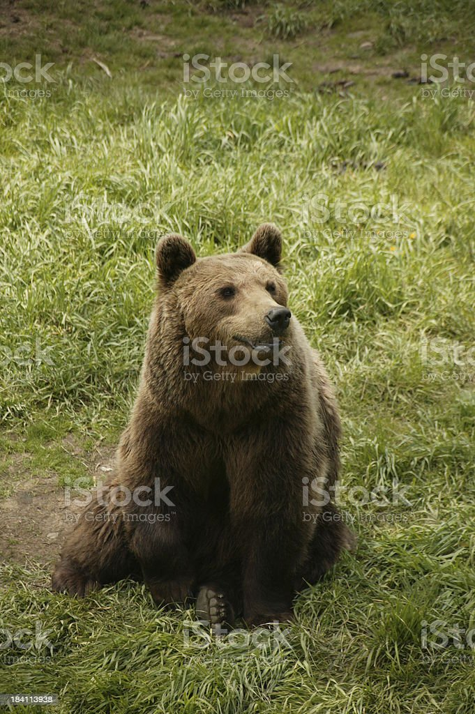 Bear in Pyrenees, France royalty-free stock photo