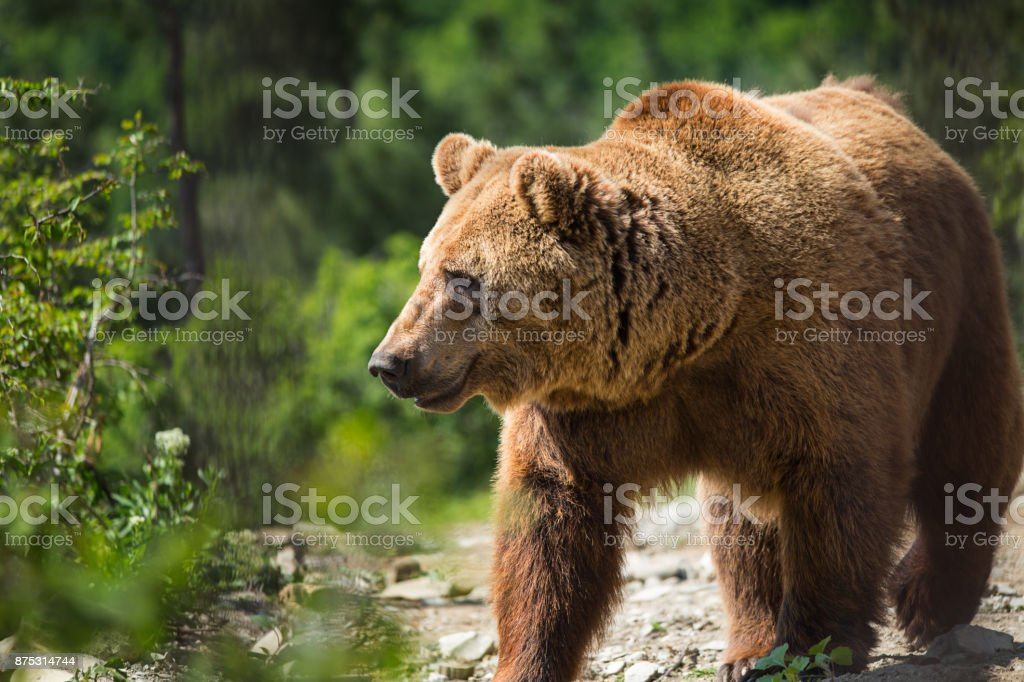 Bear in the forest stock photo