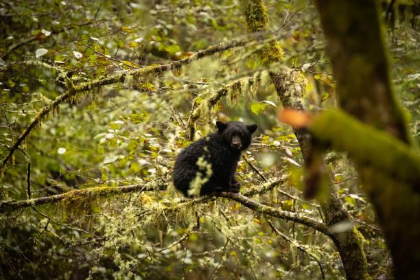 Bär im pazifischen Nordwesten. – Foto