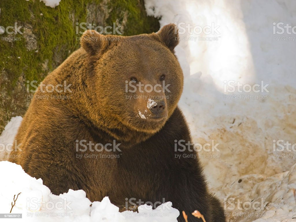 Bear in the snow royalty-free stock photo