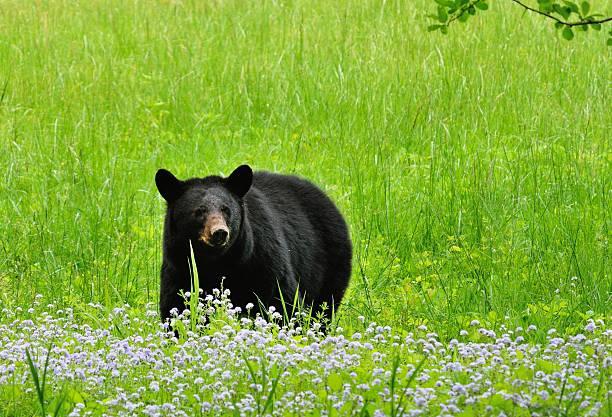 Bär im Wildblumen – Foto