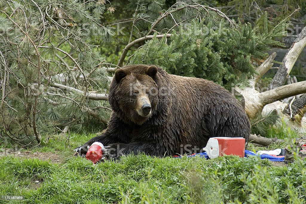Bear Invading Campground stock photo