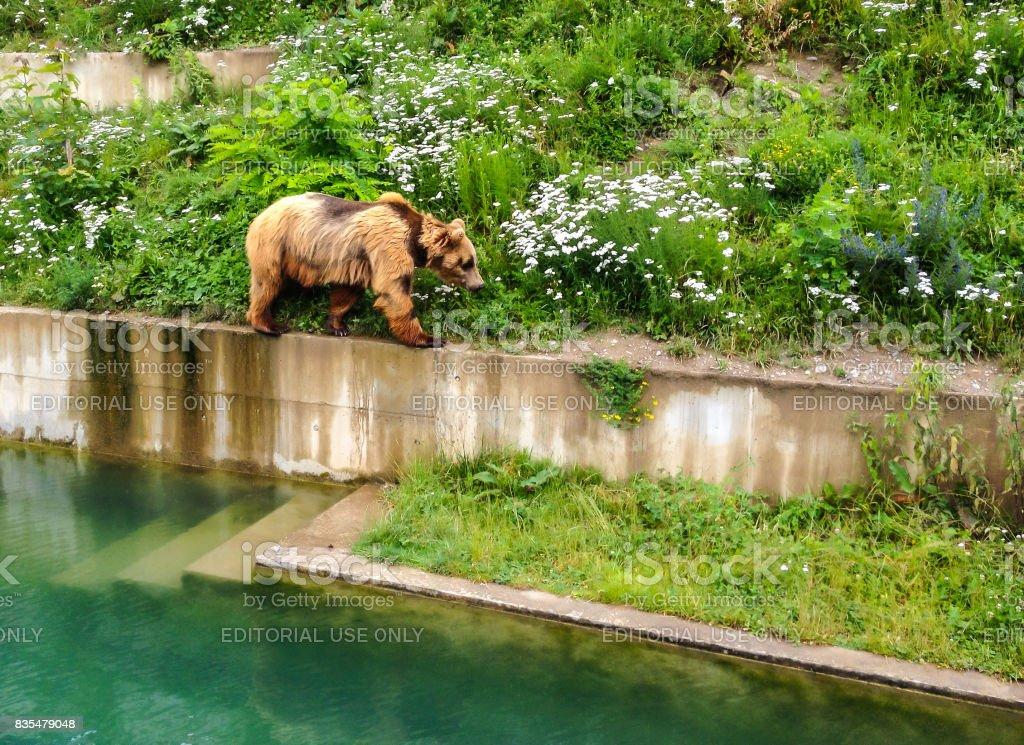 A Bear is walking along edge of pool in Bern Bear Pit (Barengraben) in Bern Bear Park, Berne, Switzerland, Europe. Bear is a symbol of both t stock photo