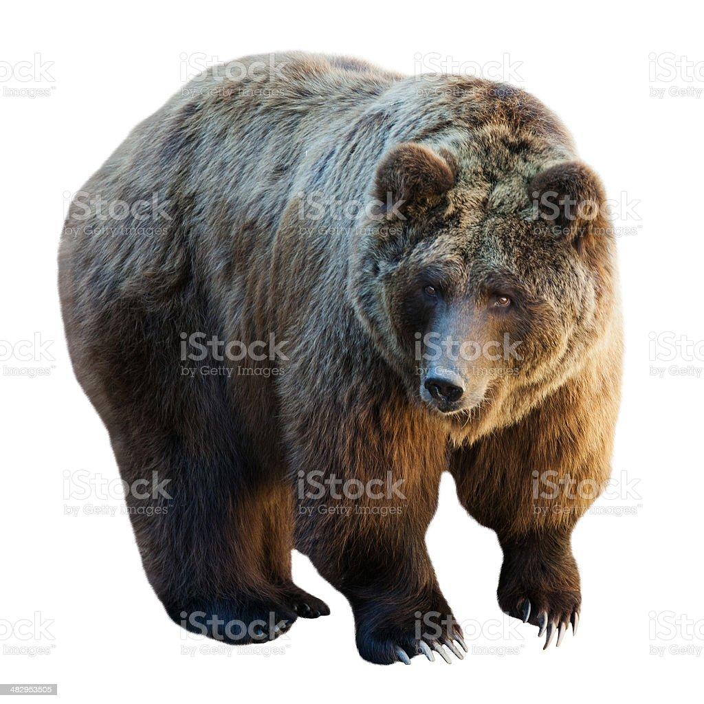 bear. Isolated  on white stock photo