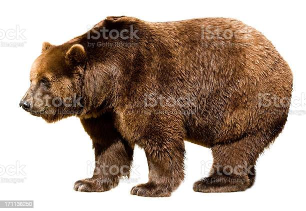 brown bear isolated on white - side view