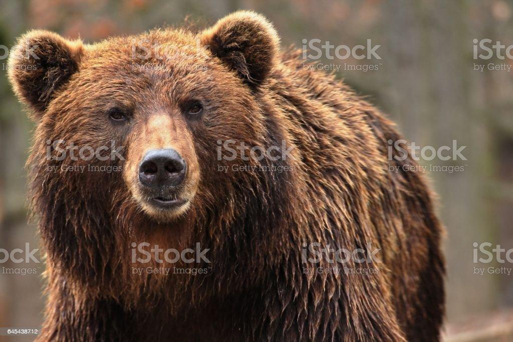 Bear kamchatkan stock photo