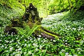 Bear leek , Wild garlic in Fairy Forest  - Bärlauch