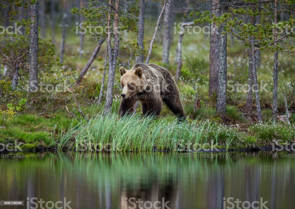 Bear near a forest lake with reflection on a beautiful forest background. stock photo