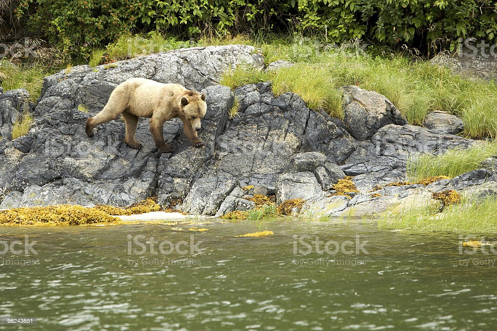 Orso sulle rocce foto stock royalty-free