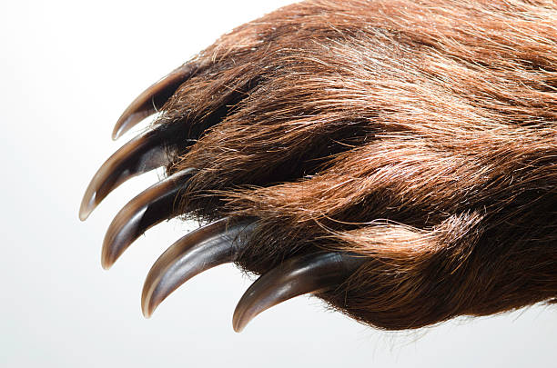 Bear Paw and Claws​​​ foto