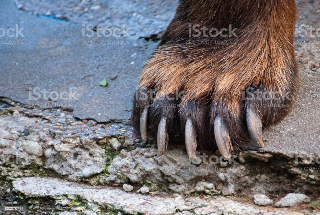 Bear paw closeup stock photo