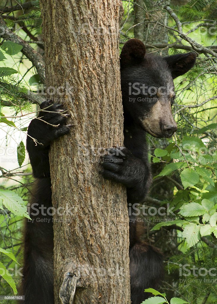 Bear peeking out from behind tree stock photo