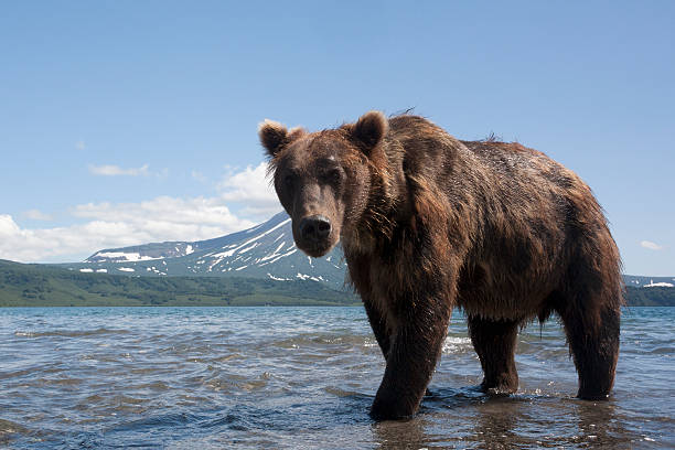 bear brown bear on the background of the volcano near the shore of the Kuril lake kamchatka peninsula stock pictures, royalty-free photos & images