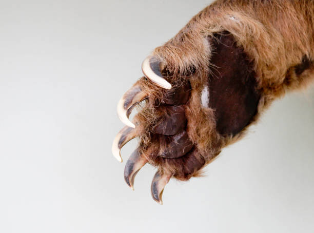 Bear Bear closeup claw stock pictures, royalty-free photos & images