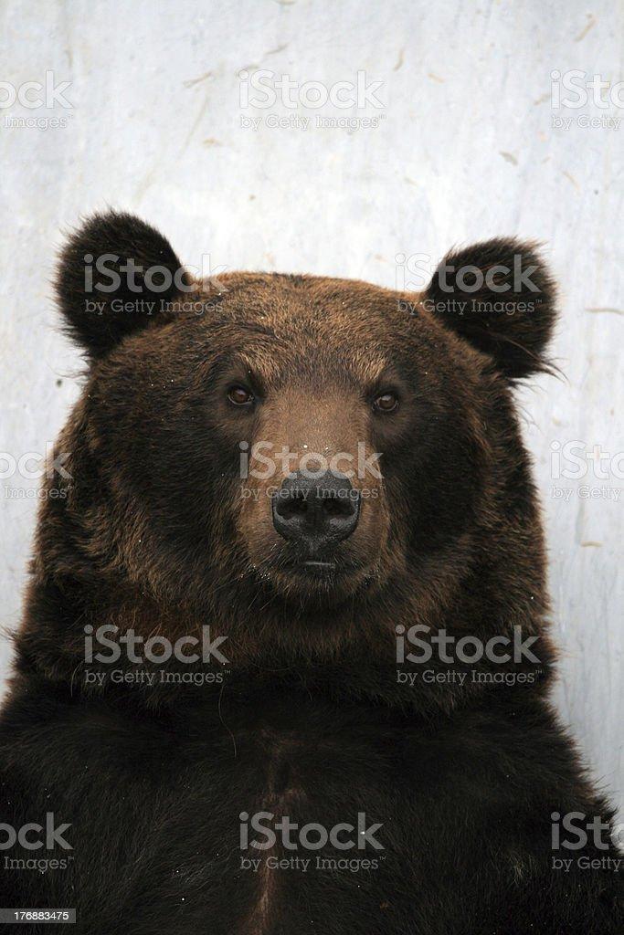 Bear Portrait stock photo