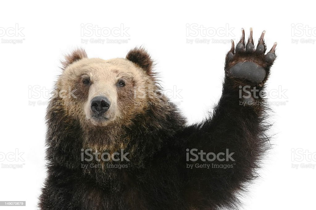 Bear Raising Paw stock photo