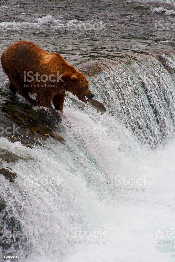 Bear Salmon Fishing stock photo