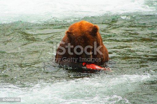 istock Bear Salmon Fishing 626668168