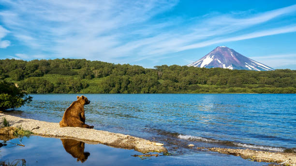 Bear Sits on the Shore of Kuril Lake. Bear Sits on the Shore of Kuril Lake and Looks at Ilinsky Vulcan kamchatka peninsula stock pictures, royalty-free photos & images