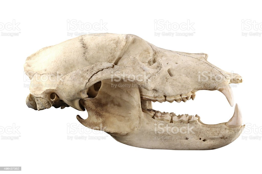 Bear skull isolated on a white background stock photo