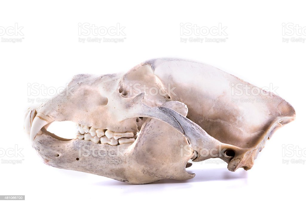 bear skull isolated stock photo