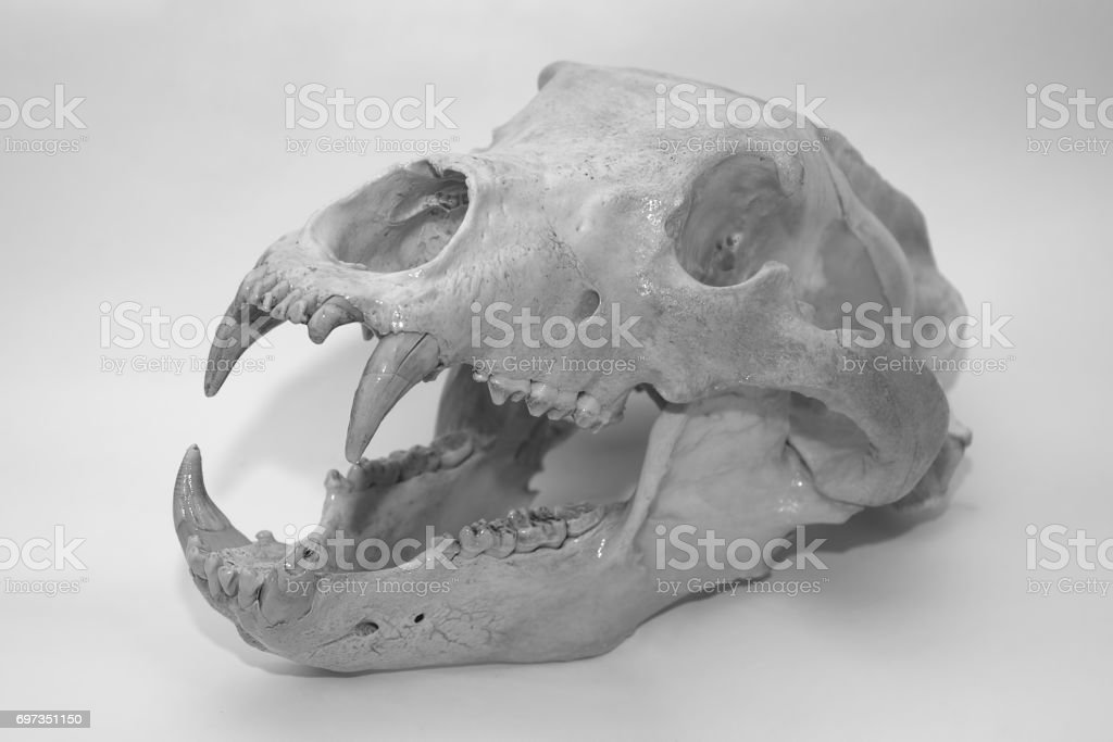 Bear Skull Stock Photo & More Pictures of Anatomy | iStock