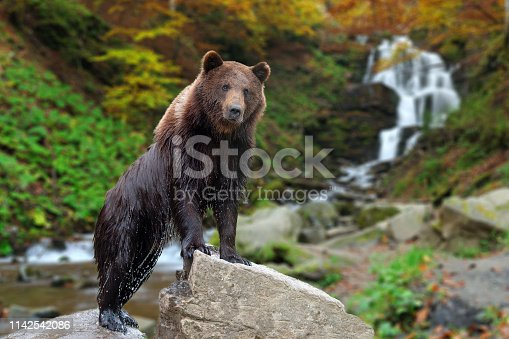 Bear stands on a stone on the background of a waterfall