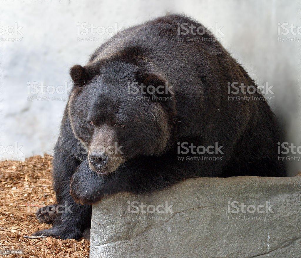 Bear Thinking royalty-free stock photo