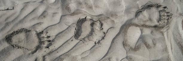 Bear tracks in a riverbed – Foto