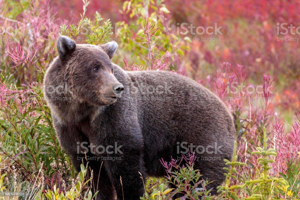 Oso caminando en flores en Canada Yukon - foto de stock