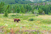 American black bear walking through meadow in the Rocky Mountains