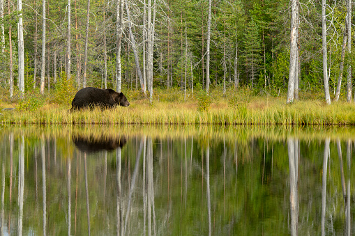 A Bear walking on a lake with reflections in a forest near kumho in Finland