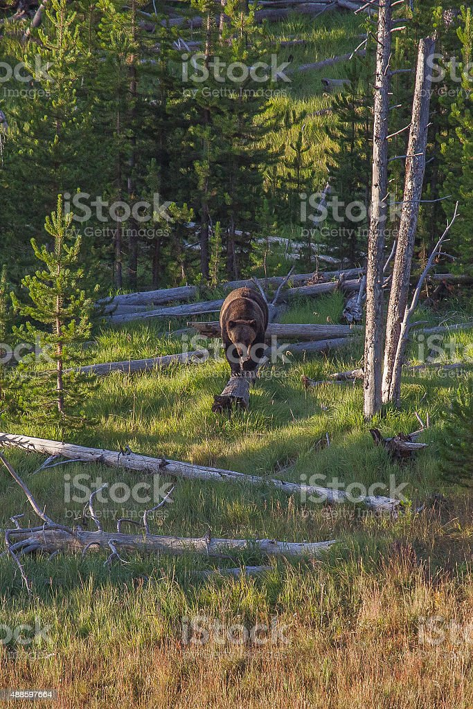 Bear walking on Log stock photo