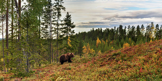 bear walking up the hill with forest background bear walking up the hill with forest background republic of karelia russia stock pictures, royalty-free photos & images