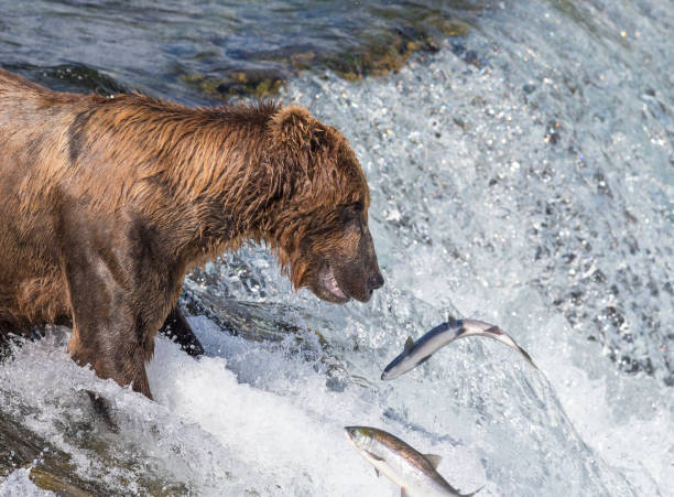 Bear with Jumping Salmon – Foto
