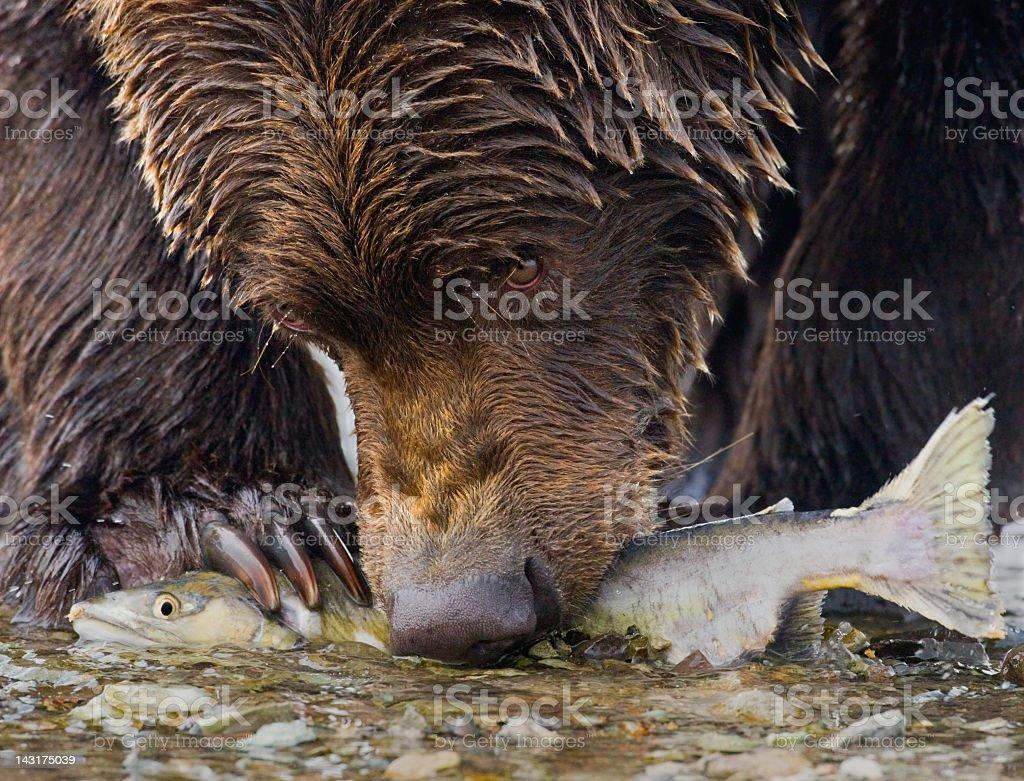 Bear with Salmon stock photo
